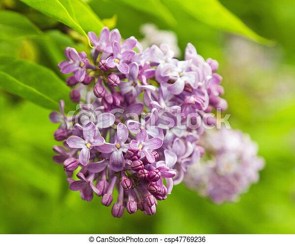 Beautiful Lilac flowers - csp47769236