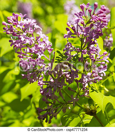 Beautiful Lilac flowers - csp47771234