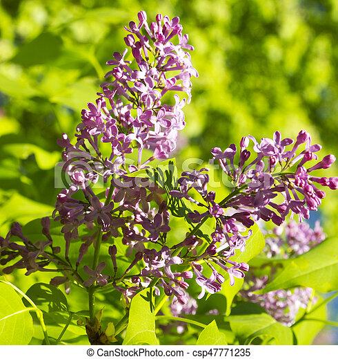Beautiful Lilac flowers - csp47771235