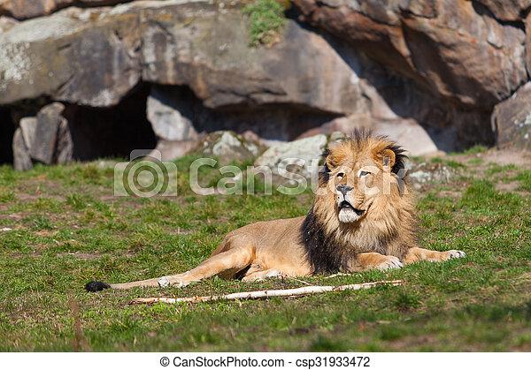 Beautiful Lion. Lion portrait - csp31933472