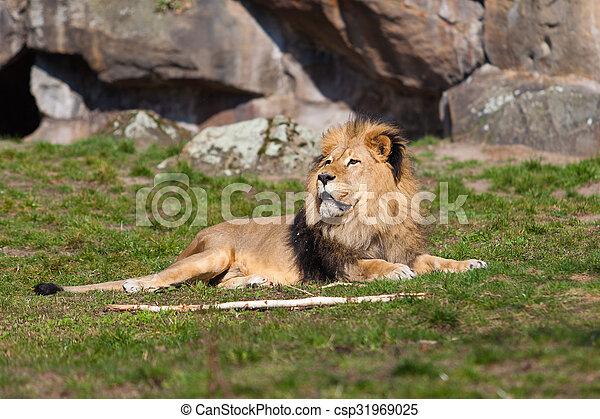 Beautiful Lion. Lion portrait - csp31969025