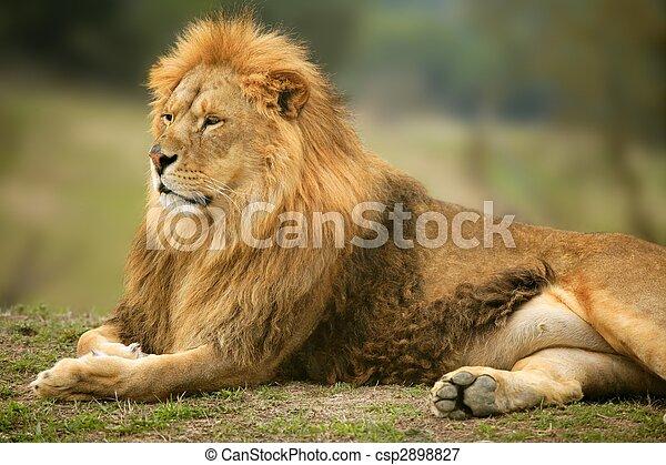 Beautiful Lion wild male animal portrait - csp2898827