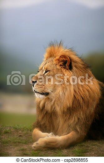 Beautiful Lion wild male animal portrait - csp2898855
