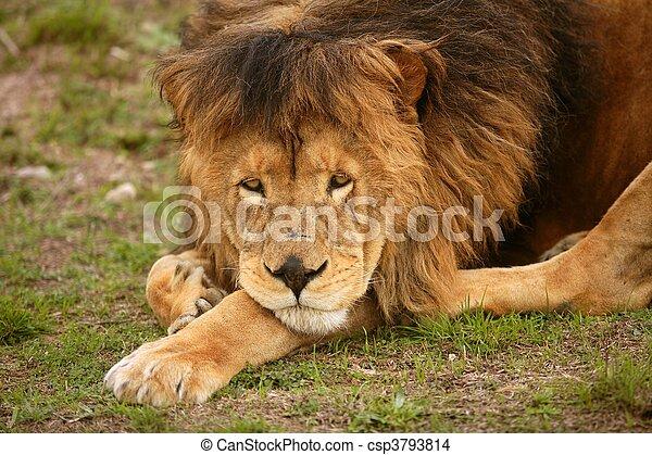 Beautiful Lion wild male animal portrait - csp3793814