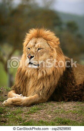Beautiful Lion wild male animal portrait - csp2929890