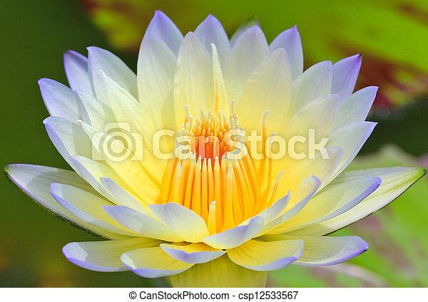 Beautiful lotus background  - csp12533567