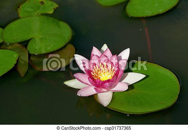 Beautiful Lotus Flower In Pond Beautiful Lotus Flower In The Pond