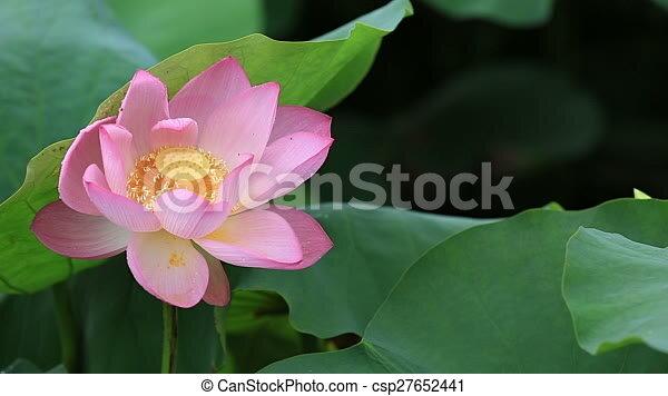 Beautiful lotus flowers blooming at pond mightylinksfo