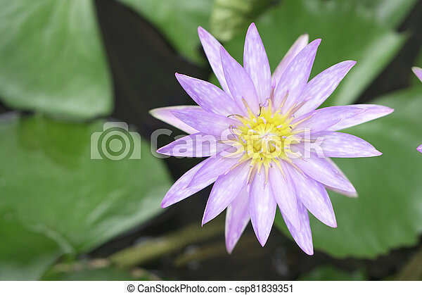 Beautiful lotus leaf near the pond, pure natural background, red lotus, lotus flower on the water surface and dark green watery leaves. - csp81839351