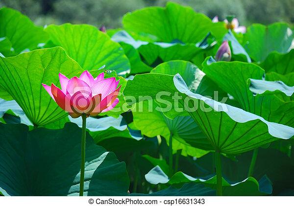 Beautiful lotus - csp16631343