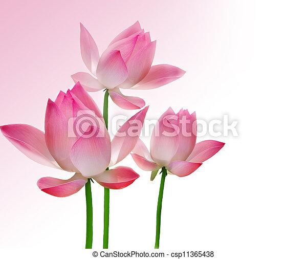 Beautiful Lotus  - csp11365438