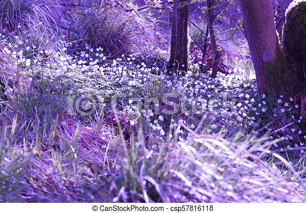 Beautiful, magical Spring flowers in the forest - csp57816118
