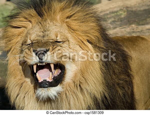 beautiful male lion  - csp1581309