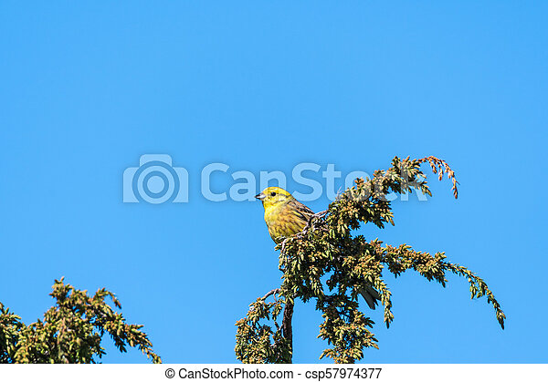 Beautiful male Yellowhammer - csp57974377