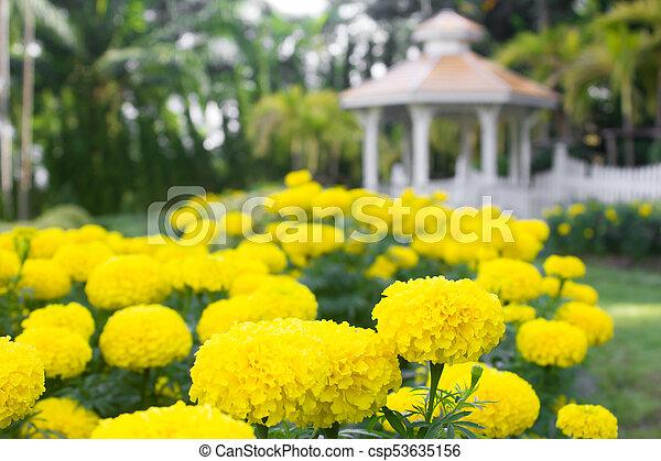 beautiful marigold flowers in the garden. - csp53635156