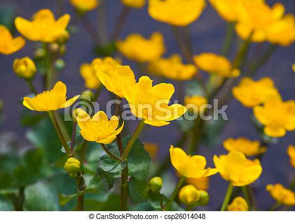 beautiful marsh marigold flowers in nature - csp26014048