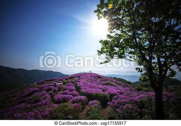 Beautiful mountains in south korea, hwangmaesan, Azaleas - csp17155917