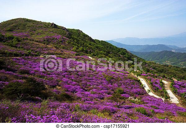 Beautiful mountains in south korea, hwangmaesan, Azaleas - csp17155921