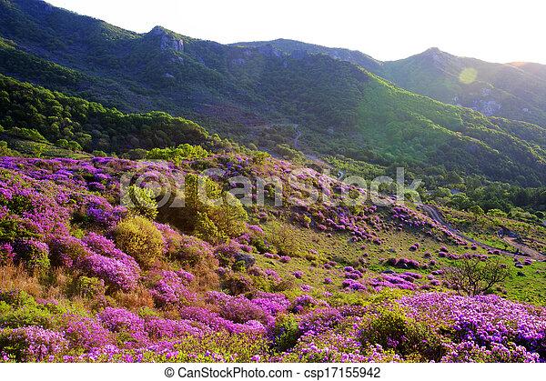 Beautiful mountains in south korea, hwangmaesan, Azaleas - csp17155942