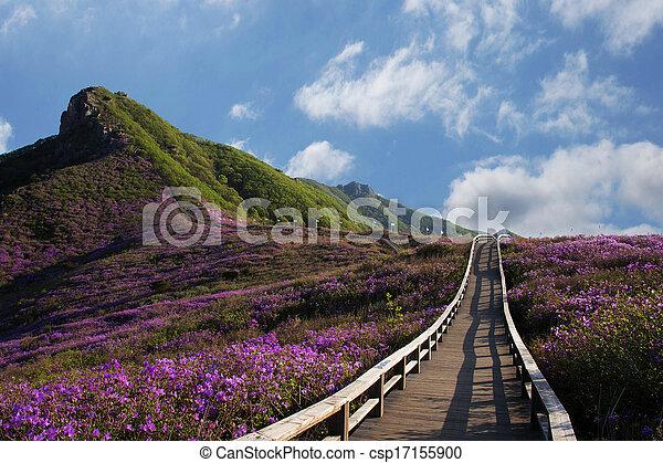 Beautiful mountains in south korea, hwangmaesan, Azaleas - csp17155900