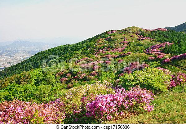 Beautiful mountains in south korea, baraebong, azaleas - csp17150836