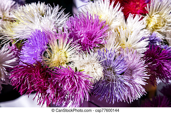 Beautiful multicolored asters Callistephus chinensis - csp77600144