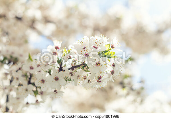 Beautiful nature scene with blooming tree and sun flare - csp54801996