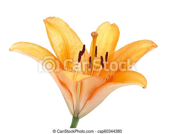 Beautiful orange lily flower isolated on white background - csp60344380