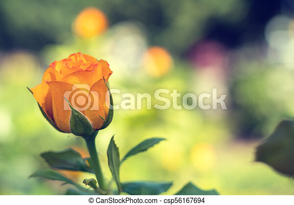 Beautiful orange rose on green branch with on plain green background - csp56167694