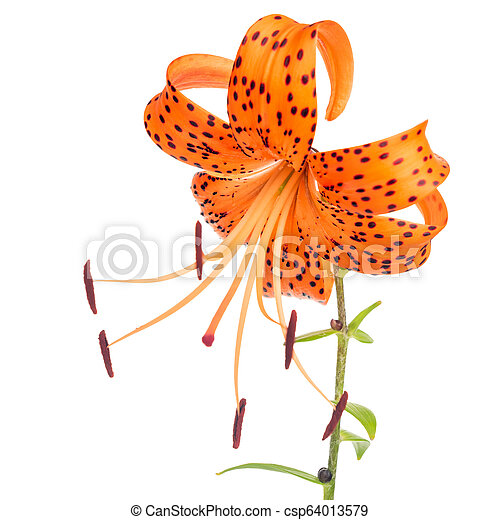 beautiful orange with spotted lily flower isolated on white background - csp64013579