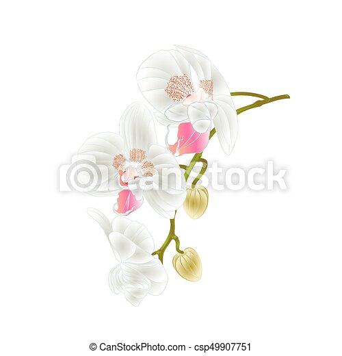 Beautiful  Orchid   stem with white flowers and  buds vintage  vector.eps - csp49907751