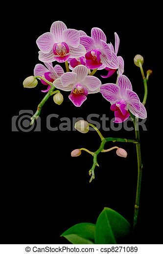 beautiful orchids blooming branch on a black background - csp8271089