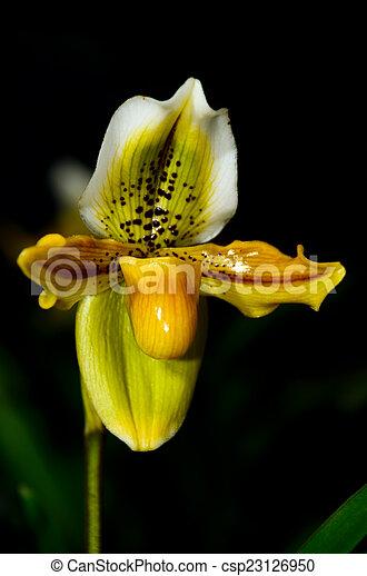 beautiful paphiopedilum exotic flowers - csp23126950