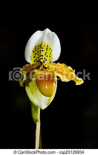 beautiful paphiopedilum exotic flowers - csp23126934