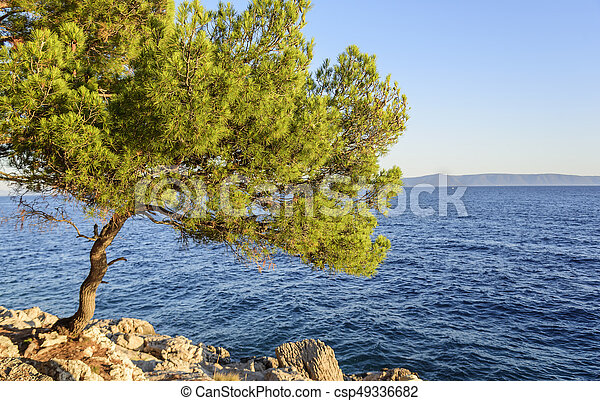 Beautiful pine trees and the shore of the blue sea in the evening. Croatia. - csp49336682