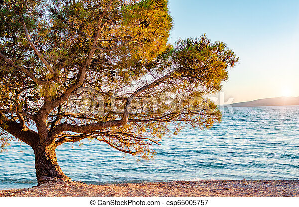 Beautiful pine trees and the shore of the blue sea in the evening. Croatia. - csp65005757
