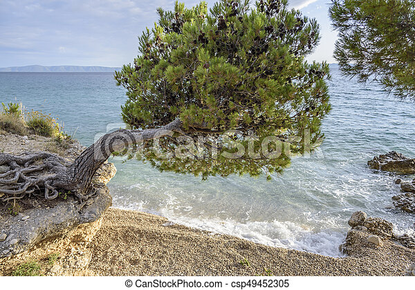 Beautiful pine trees and the shore of the blue sea in the evening. Croatia. - csp49452305