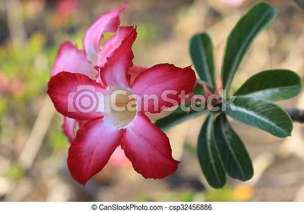 Beautiful pink azalea flowers tropical flowers desert roses beautiful pink azalea flowers tropical flowers desert roses in the garden csp32456886 mightylinksfo