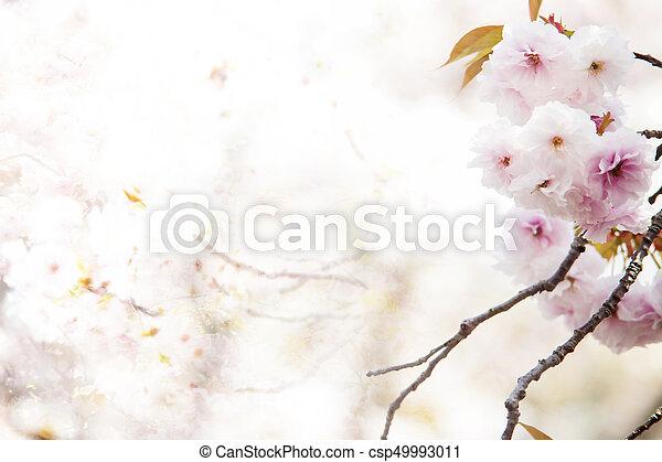 The beautiful pink cherry blossom sakura flower and with vintage beautiful pink cherry blossom sakura flower and with vintage japan style background csp49993011 mightylinksfo