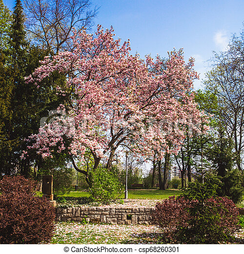 Beautiful Pink Flower Magnolia Tree In The Margaret Island