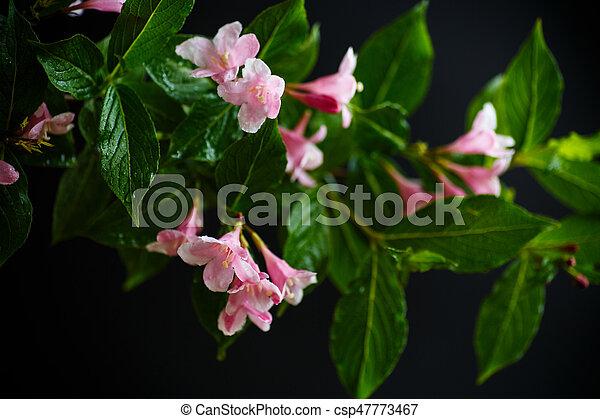 Beautiful pink flowers weigela on a black background stock image beautiful pink flowers weigela csp47773467 mightylinksfo