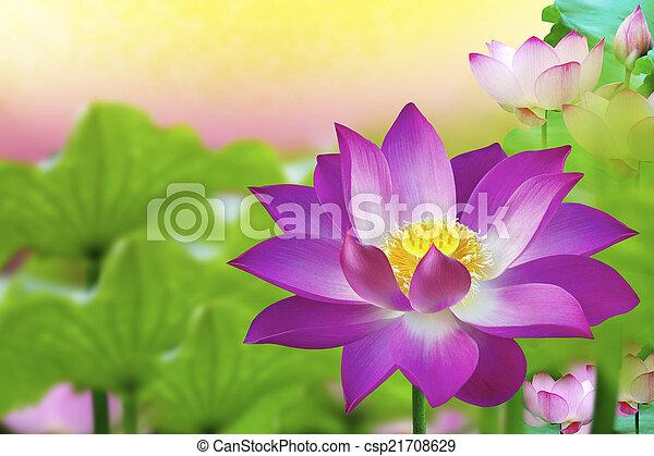 Beautiful pink lotus flower in pond flower blossom the lotus beautiful pink lotus flower in pond flower blossom csp21708629 mightylinksfo