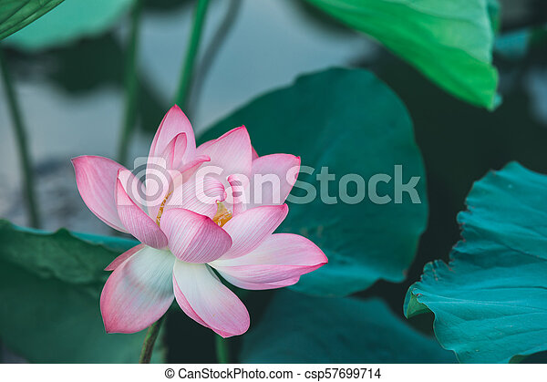 Beautiful pink lotus flower with green leaves in pond beautiful pink lotus flower with green leaves in pond csp57699714 mightylinksfo