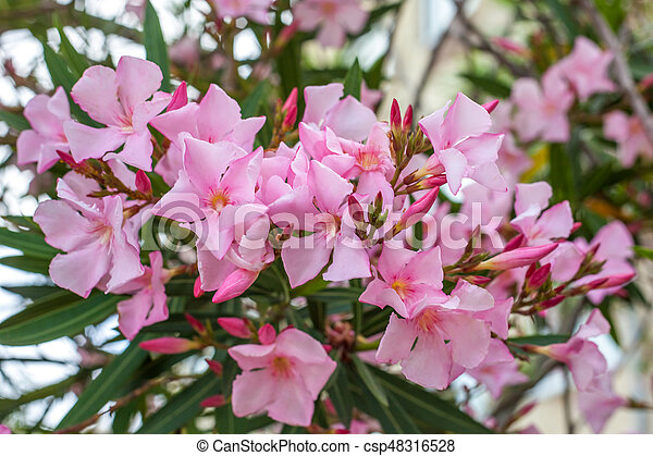 Beautiful pink nerium oleander flowers on bright summer day mightylinksfo