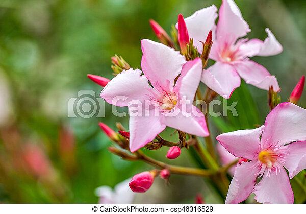 Beautiful pink nerium oleander flowers on bright summer day stock beautiful pink nerium oleander flowers on bright summer day csp48316529 mightylinksfo