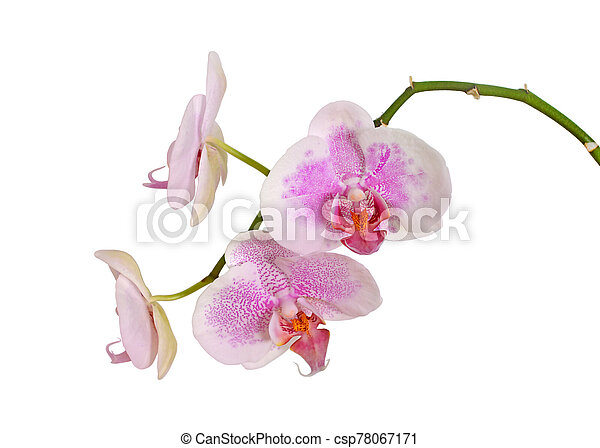 Beautiful pink orchid isolated on a white background - csp78067171
