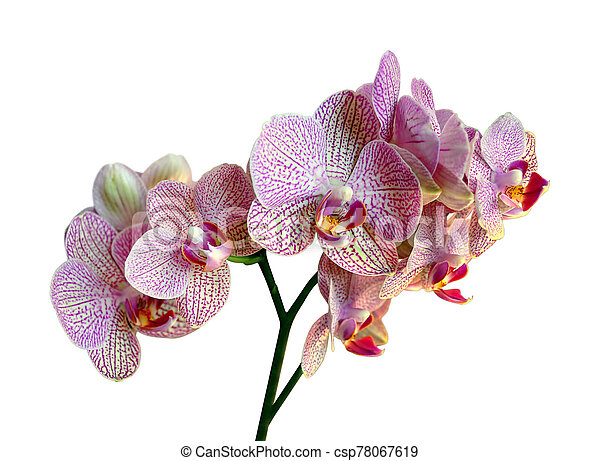 Beautiful pink orchid isolated on a white background - csp78067619