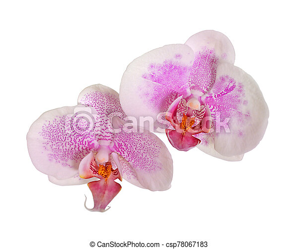 Beautiful pink orchid isolated on a white background - csp78067183