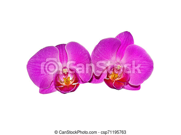 Beautiful pink orchid isolated on a white background - csp71195763