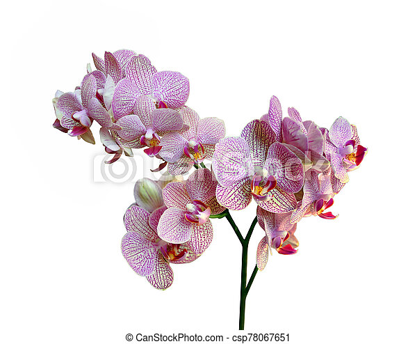 Beautiful pink orchid isolated on a white background - csp78067651